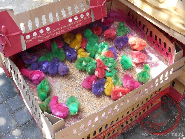 Kuikens worden in allerlei kleuren gespoten voor de verkoop