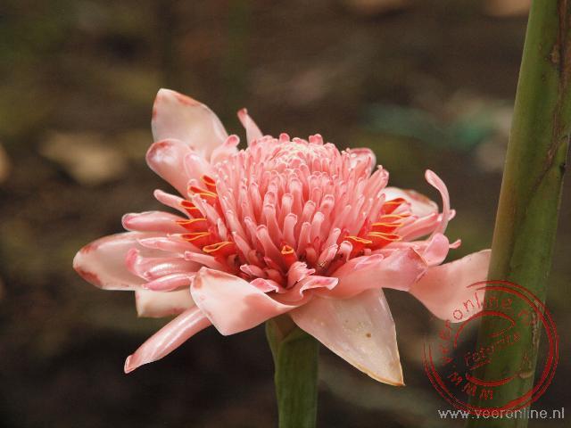 De mooie bloem van de Pink Torch Ginger
