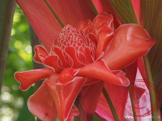 Indonesië: Sumatra, Java en Bali - De Red Flower Torch Ginger