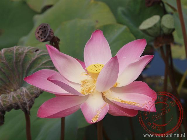 Een lotus bloem bij de Lotus tempel