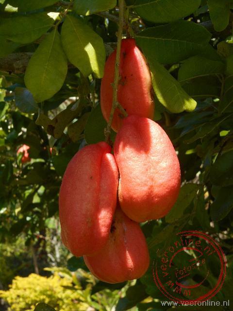 De typische Jamaicaanse ackee vrucht