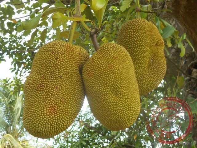 Jack fruits hangen aan de bbom