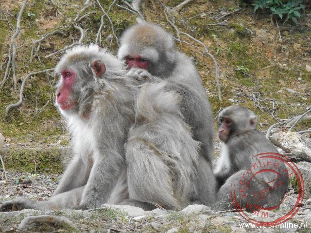 Bavianen in het monkey park in Saga-Arashivama