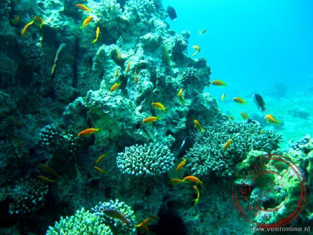 Het koraal in de Golf van Aqaba