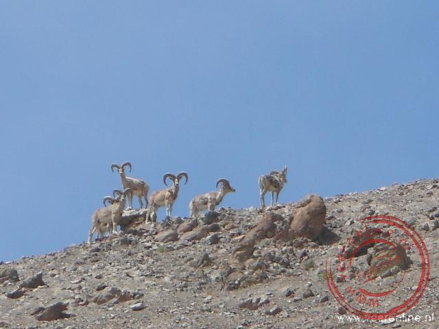 Een groepje steenbokken kijkt toe op de berghelling