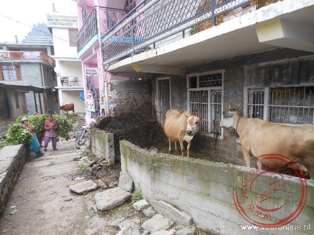 Koeien in de kleine voortuin in de wijk Vashisht