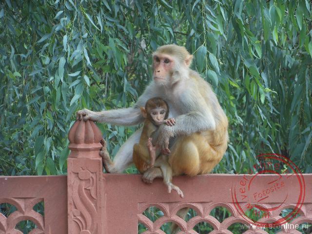 Een aap nabij de Taj Mahal