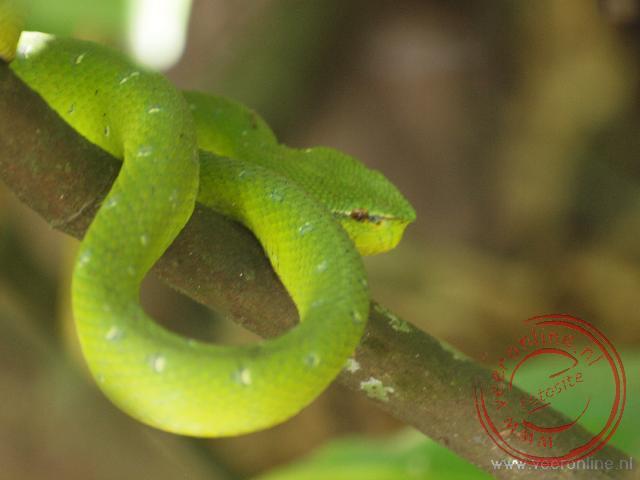 Een slang rst tussen de struiken. Waarschijnlijk een Grey tailed racer snake.