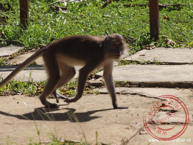 Een lang staart Makak aap is op rooftocht in Bako National Park