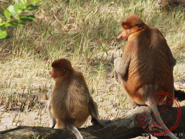 De mannetjes Neusapen of Proboscis apen hebben een opvallend grote neus.