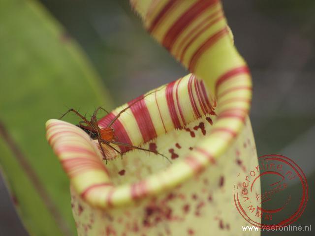 Een spin kruipt op de rand van de vleesetende pitcher plant.