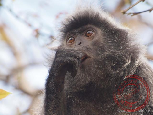 Een silvered leaf aap een de blaadjes in de boom