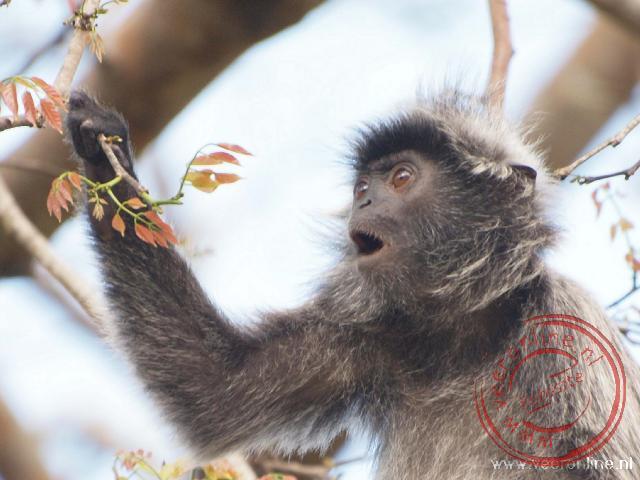 Een Silvered Leaf Monkey of Mutslangoer in het Nederlands in Bako