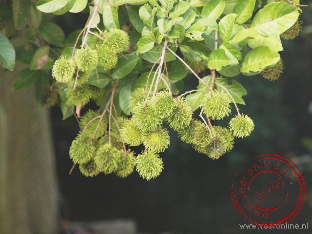 De rambutan vruchten aan de boom