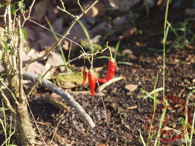 Rode peper groeit langs de kant van de weg in Maleisië