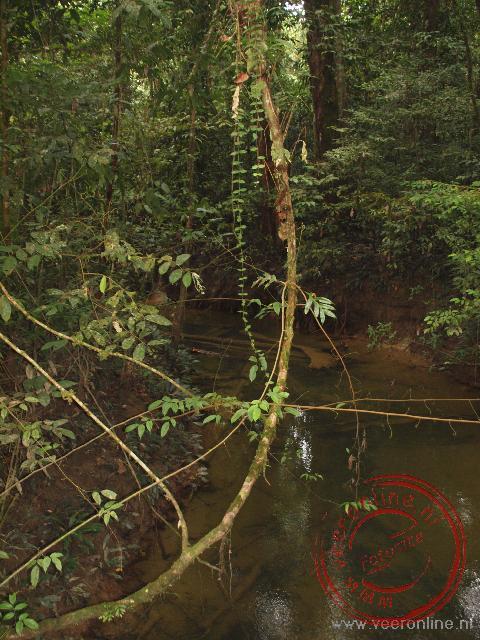 Het tropische regenwoud van Maleisische Borneo