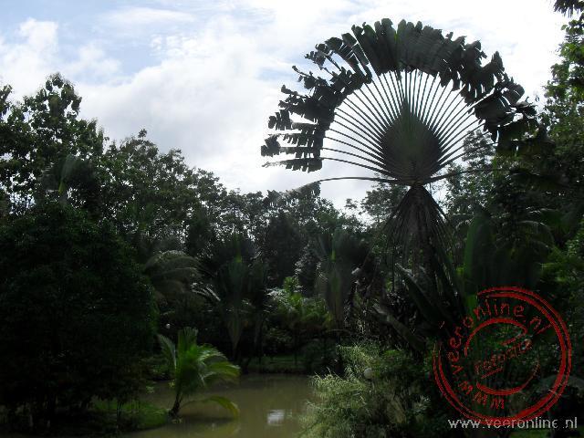 De kaarsrecht georienteerde Reizigers palm