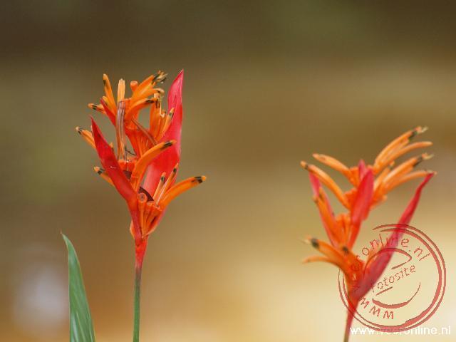 De Heloconia Psittacorum