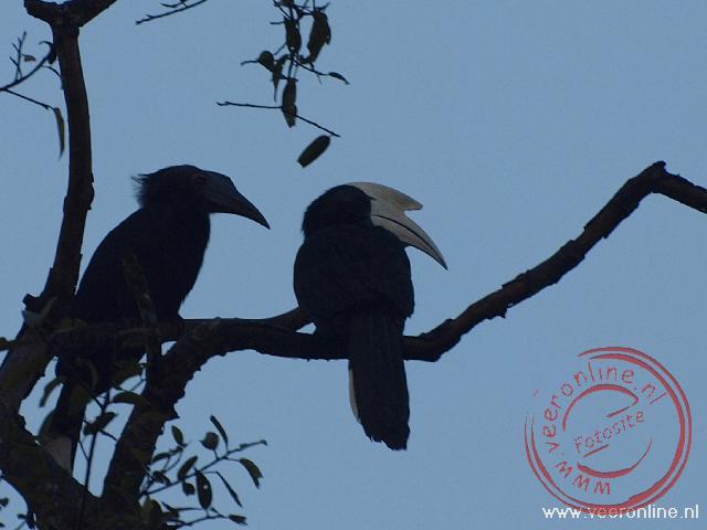 Black hornbills langs de Kinabatangan River