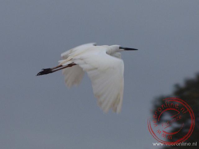 Een witte reiger vliegt weg