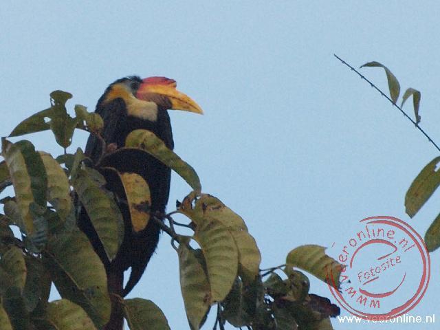 Een Wrinkled hornbill in de boomtop bij de Kinabatangan River