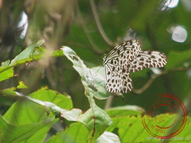 De lemon butterfly