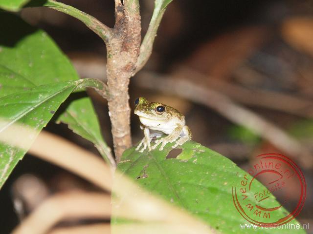Een kikkertje tijdens de nachtwandeling door het tropisch woud