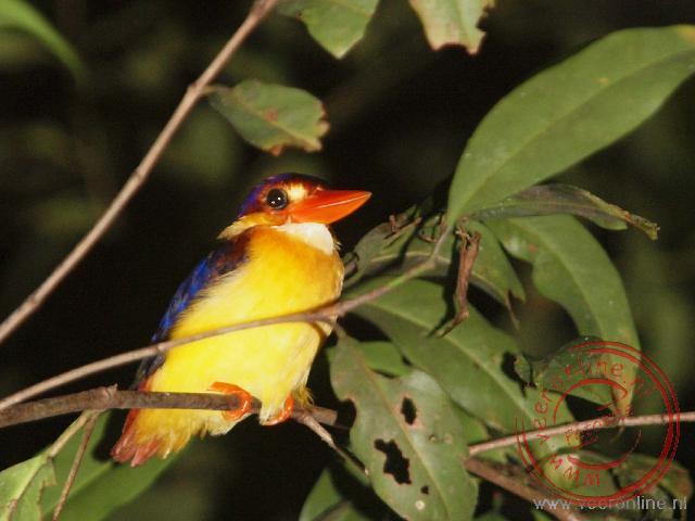 Een Oriental dwarf kingfisher slaapt in de boom tijdens de nachtwandeling