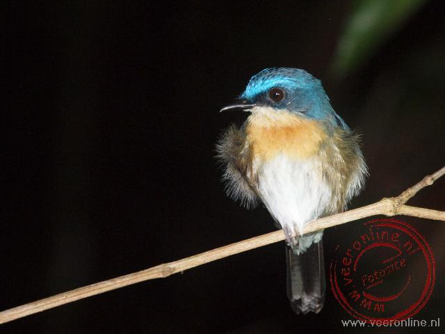 Een blue flycatcher zit slapend op een tak
