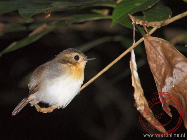 Een flycatcher laat zich slapend makkelijk benaderen