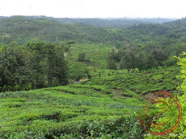 De theeplantages van Sabah Tea