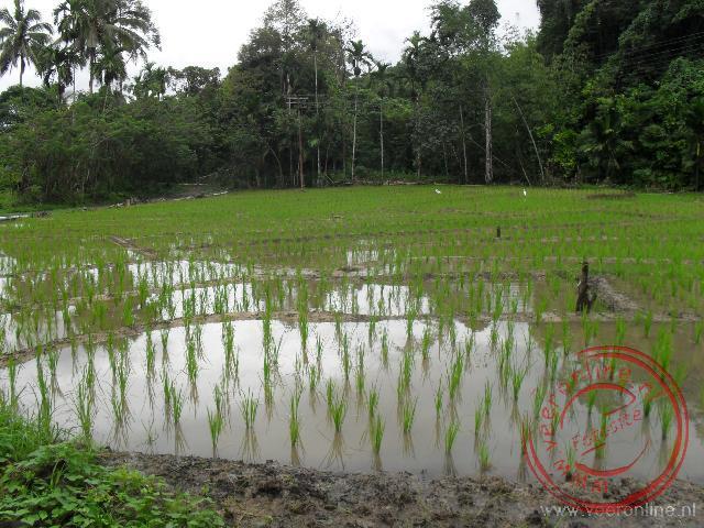 Enkele rijstvelden op de flanken van Mount Kinabalu