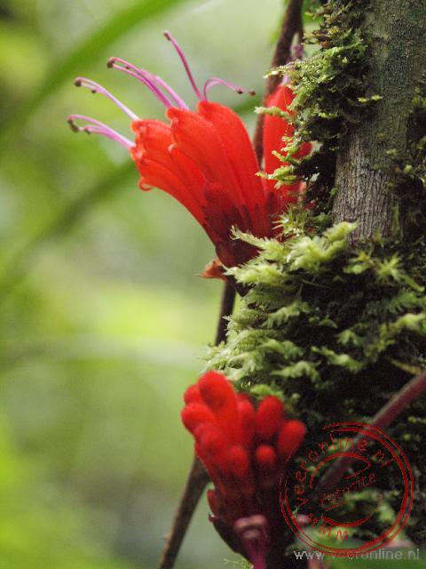 De Aeschynanthus groeit tegen een boomstam