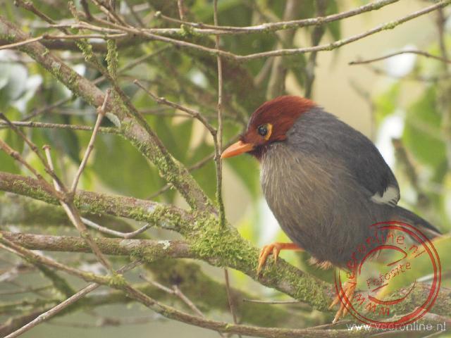 Een klein vogeltje in Kinabalu National Park