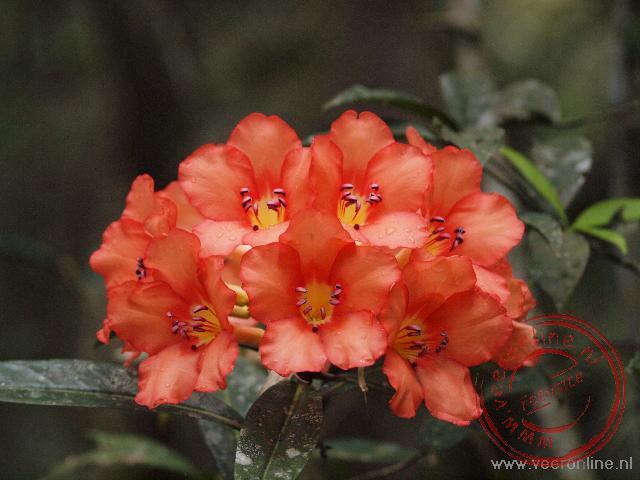 Een bloeiende Cordia