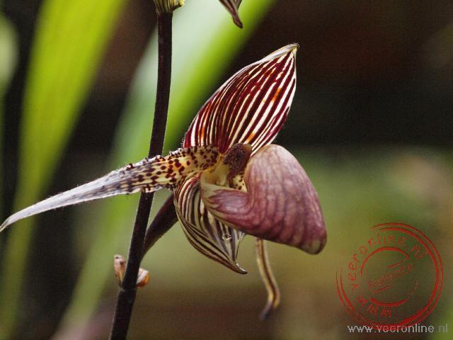 Een orchidee in Mount Kinabalu National Park