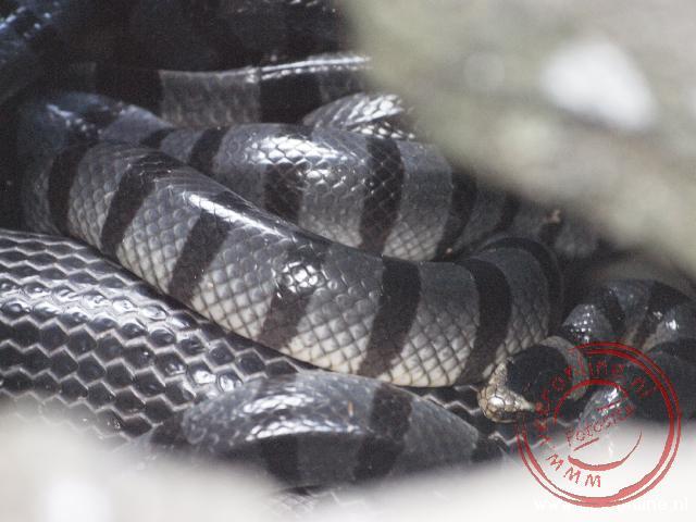 Slangen tussen de rotsen op Snakeisland