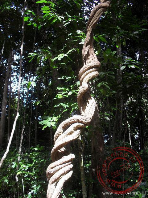 Luchtwortels en lianen proberen via andere bomen zo dicht mogelijk bij het licht te komen