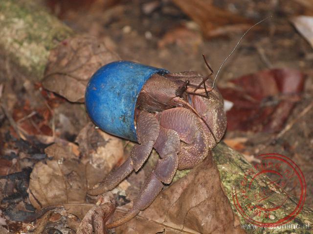 Een heremietkreeft heeft een plastic bolletje als zijn huis gekozen