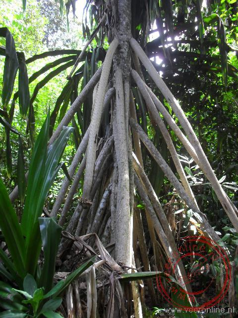 Steunwortels van de Pandanus Palm op Pulua Tiga