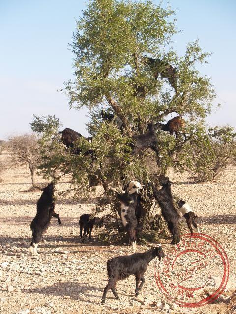 De geiten klimmen hoog in de Argana boom om de vruchten te bereiken