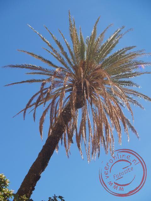 Een palmboom