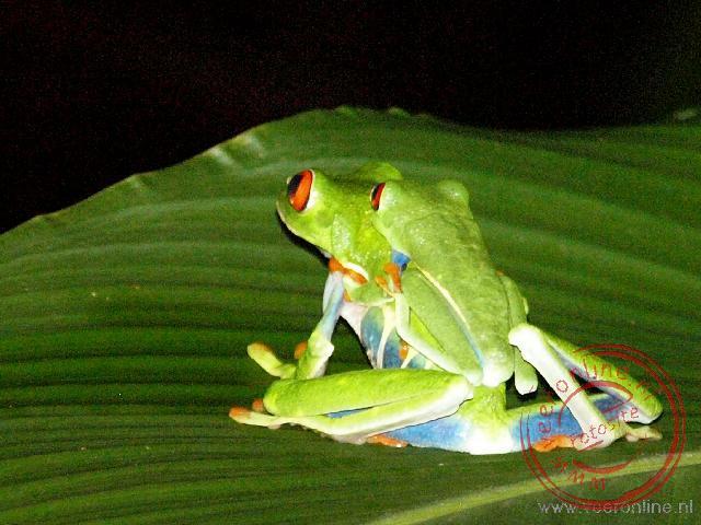 Twee Gaudi Leaf Frogs. Het grotere vrouwtje en het kleinere mannetje