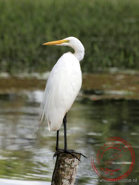 Een witte reiger bij Cano Negro