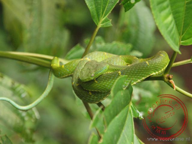 Een giftige palm pitviper slang in Monteverde