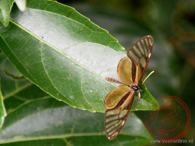 De doorzichtige vleugels van de glasvlinder