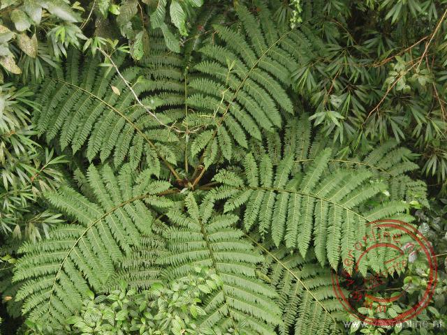 Een grote varen in het regenwoud