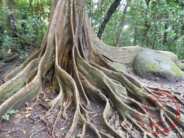 Mooi gevormde boomwortels