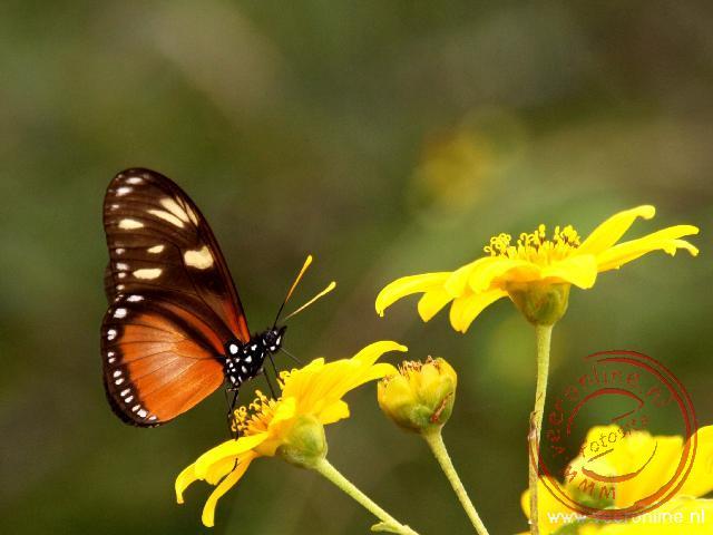 Een vlinder zoekt voedsel op een bloem