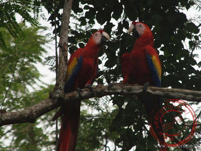 Twwe Macaw papagaaien bij Copán